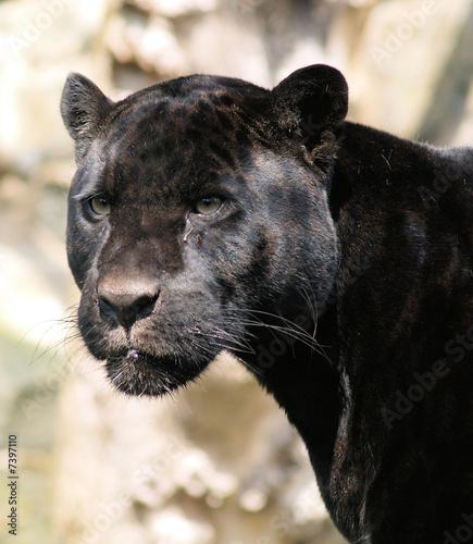 Fotografie, Obraz Beauty of the Beast