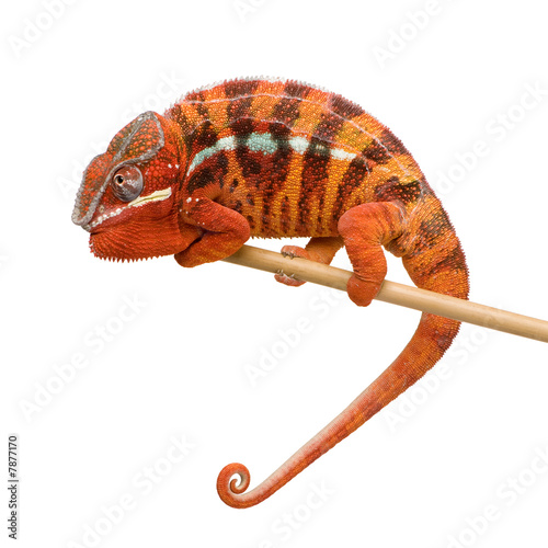 Chameleon Furcifer Pardalis - Sambava (2 years) #7877170