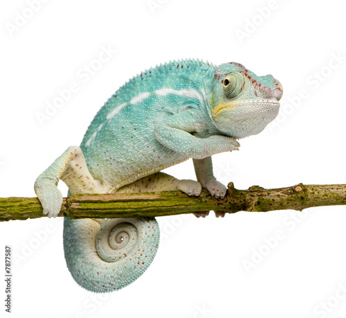 Young Chameleon Furcifer Pardalis - Nosy Be(7 months) #7877587
