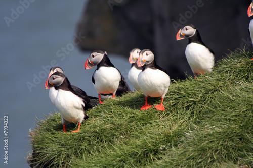 Fototapeta macareux islandais
