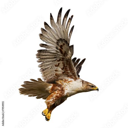 Valokuvatapetti Isolated hawk in flight
