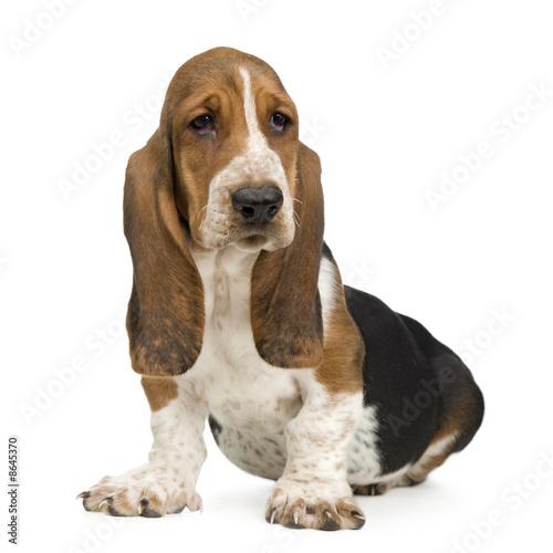 Fotografie, Obraz Basset Hound (3 months) - hush puppy