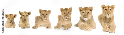 Fotografia, Obraz lion cub growing from 3 to 9 months in front of a white backgrou