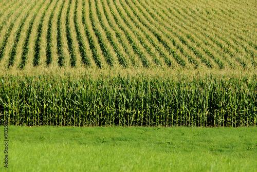 A close up view of a cornfield Fotobehang