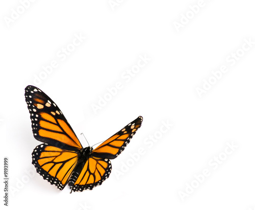 Stampa su Tela Monarch Butterfly on White Background