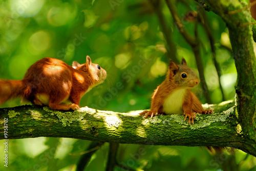 Fototapeta playing young squirrels