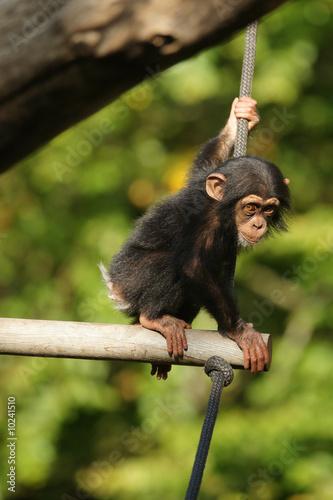 Fotografía Chimpanzee child sitting