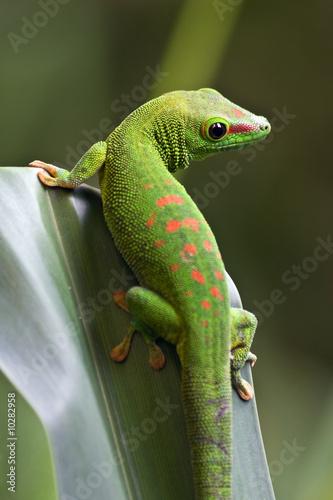 Green gecko on the leaf #10282958