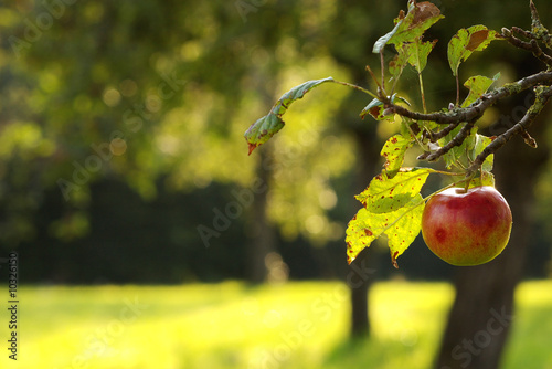 Apfelbaum in Streuobstwiese