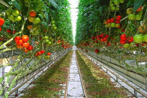 Valokuvatapetti serre de tomates