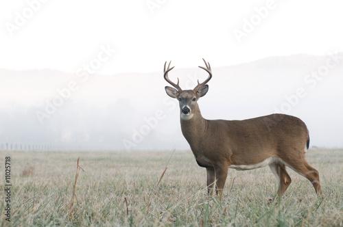 Fotografie, Obraz Whitetail deer buck in an open field