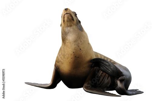 Fototapeta premium Steller sea lion having a scratch - isolated on white