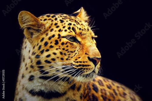 Leopard #11729315