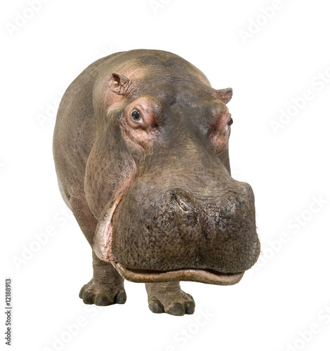 Fotografia Hippopotamus - Hippopotamus amphibius ( 30 years)