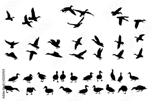 Obraz na plátně collection of mallard duck silhouettes for designers