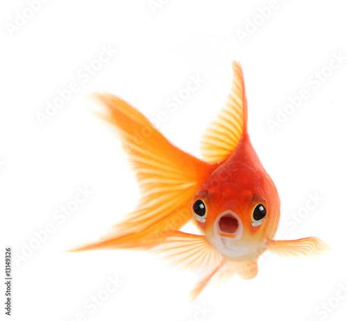 Fotografie, Obraz Shocked Goldfish Isolated on White Background