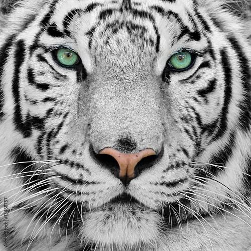 Fototapeta premium biały Tygrys