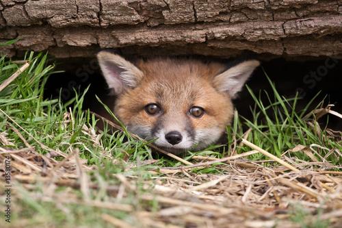 Fototapeta Red Fox in British Countryside