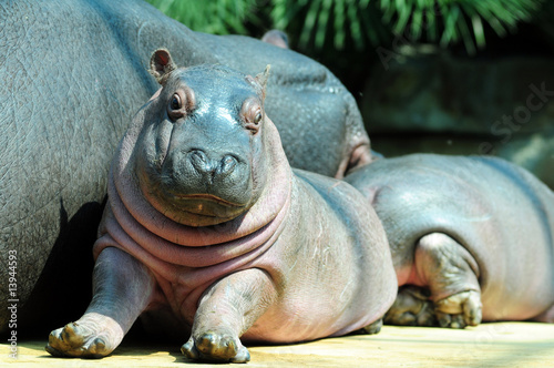Baby hippo and his mom, cooling relax