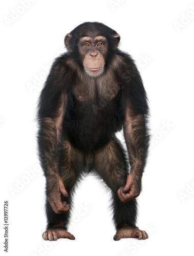 Canvas-taulu Young Chimpanzee standing up like a human - Simia troglodytes (5