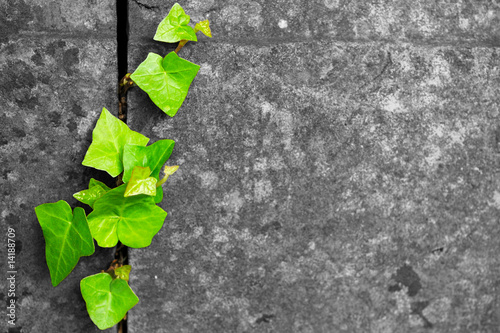 Fotografia green ivy in cracked stone background
