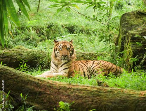 Canvas Print tiger resting in safari uganda