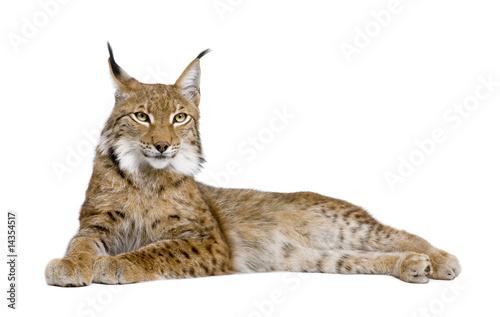 Fototapeta premium Eurasian Lynx - Lynx lynx (5 lat)