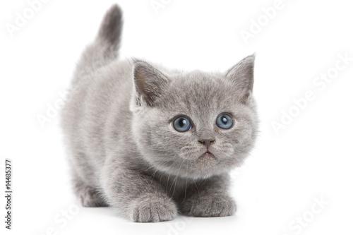 Obraz na plátně British kitten on white background
