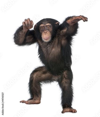 Fotografija Young Chimpanzee dancing