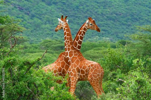 Wallpaper Mural Fight of two giraffes