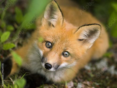 Fototapeta mammal  red fox  C