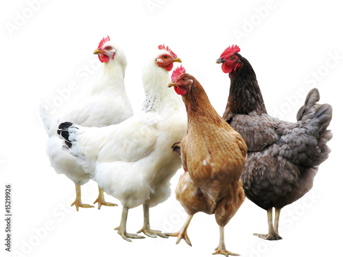Fotografia cute funny hens on white background, isolated