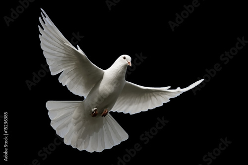 Fotografia White dove isolated on black.