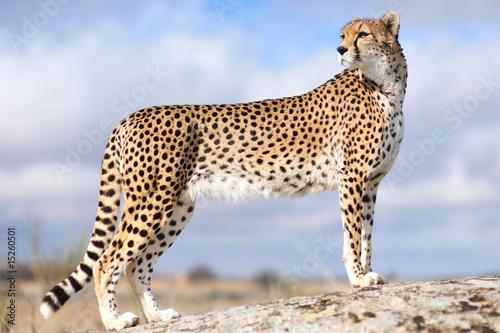 Gepard 1 Fototapeta