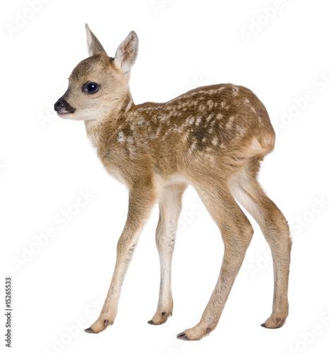 Photo roe deer Fawn - Capreolus capreolus (15 days old)