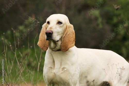 Fotografia chien porcelaine de trois quart debout dans l'herbe - fier