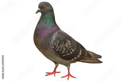 Foto Pigeon