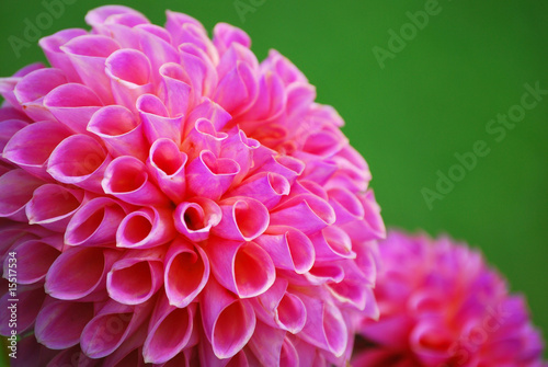 Makro Blütenblätter einer Ball - Dahlie