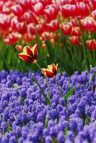 tulip - color - flower