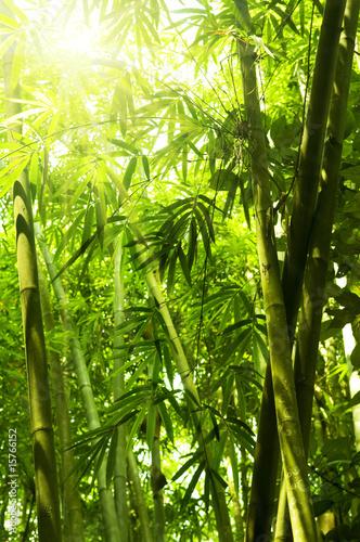 Fototapeta premium Bambusowy las.