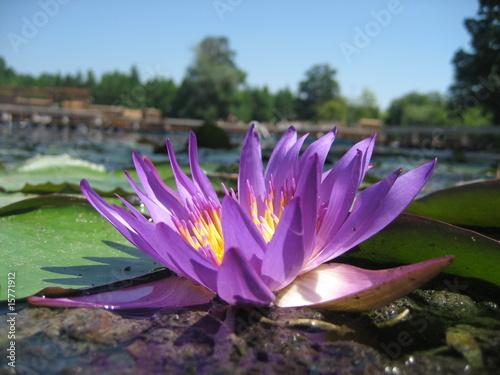 Fotografia Water Lily on Hévíz