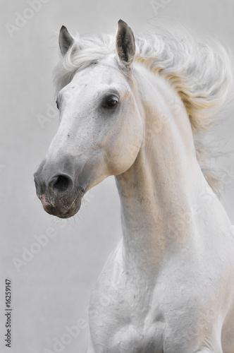 Fototapeta white horse stallion isolated on the gray background