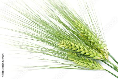 green barley Fototapete