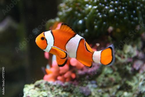 Cuadros en Lienzo Nemo, The Clownfish