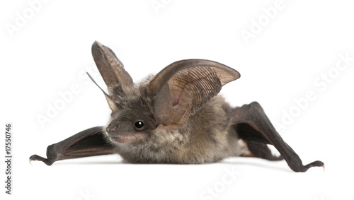 Grey long-eared bat, in front of white background, studio shot