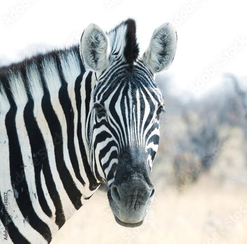 Fototapeta premium Zebra