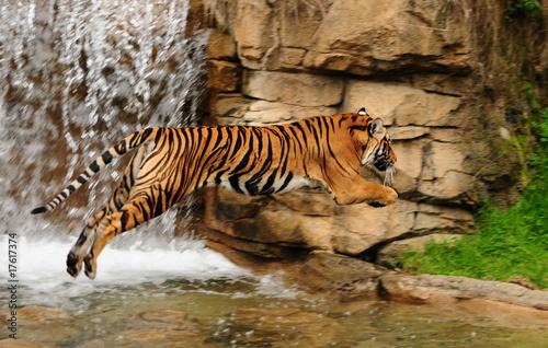 Fototapeta Tiger in mid-air