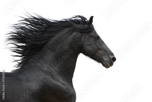 Fotografie, Obraz Portrait of galloping frisian horse on white background