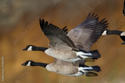 Banded Geese in Flight