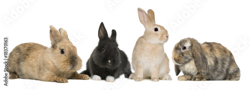 Fotografia Bunny rabbits sitting in front of white background, studio shot